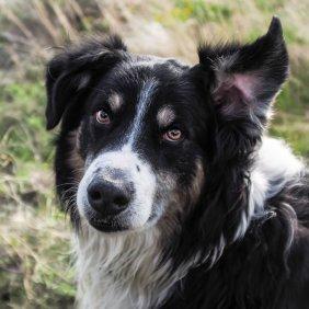 English Shepherd Ausführliche Rassebeschreibung, Fotos, Intelligenz, Hundenamen, Hypoallergene: nein