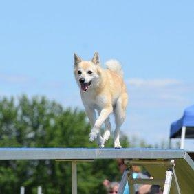Norwegischer Buhund Ausführliche Rassebeschreibung, Fotos, Intelligenz, Hundenamen, Hypoallergene: nein