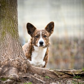 Welsh Corgi Cardigan Ausführliche Rassebeschreibung, Fotos, Intelligenz, Hundenamen, Hypoallergene: nein