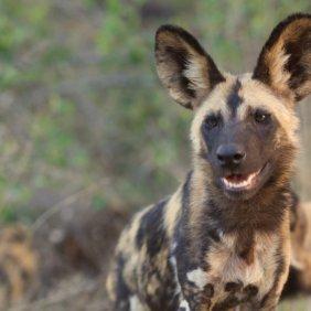 Afrikanischer Wildhund Ausführliche Rassebeschreibung, Fotos, Intelligenz, Hundenamen, Hypoallergene: nein