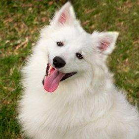 American Eskimo Dog Ausführliche Rassebeschreibung, Fotos, Intelligenz, Hundenamen, Hypoallergene: nein