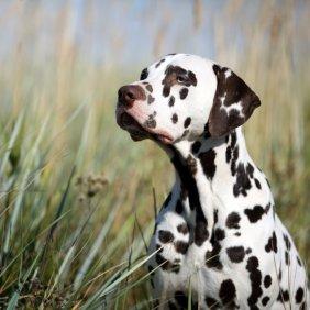 Dalmatiner Ausführliche Rassebeschreibung, Fotos, Intelligenz, Hundenamen, Hypoallergene: nein