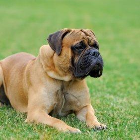 Mastiff Englischer Ausführliche Rassebeschreibung, Fotos, Intelligenz, Hundenamen, Hypoallergene: nein