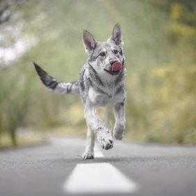 Saarlooswolfhund Ausführliche Rassebeschreibung, Fotos, Intelligenz, Hundenamen, Hypoallergene: nein