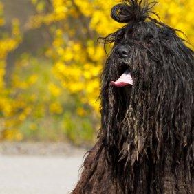 Bergamasker Hirtenhund Ausführliche Rassebeschreibung, Fotos, Intelligenz, Hundenamen, Hypoallergene: ja