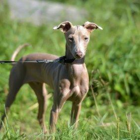 Peruanischer Nackthund Ausführliche Rassebeschreibung, Fotos, Intelligenz, Hundenamen, Hypoallergene: ja