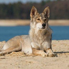 Tamaskan Ausführliche Rassebeschreibung, Fotos, Intelligenz, Hundenamen, Hypoallergene: nein