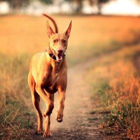 Pharaonenhund Ausführliche Rassebeschreibung, Fotos, Intelligenz, Hundenamen, Hypoallergene: nein