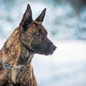 Hollandse Herdershond Ausführliche Rassebeschreibung, Fotos, Intelligenz, Hundenamen, Hypoallergene: nein