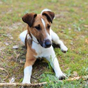 Foxterrier Ausführliche Rassebeschreibung, Fotos, Intelligenz, Hundenamen, Hypoallergene: nein