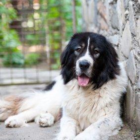 Ciobănesc Românesc de Bucovina Ausführliche Rassebeschreibung, Fotos, Intelligenz, Hundenamen, Hypoallergene: nein