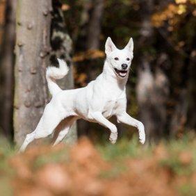 Canaan Dog Ausführliche Rassebeschreibung, Fotos, Intelligenz, Hundenamen, Hypoallergene: nein