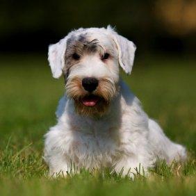 Sealyham Terrier Ausführliche Rassebeschreibung, Fotos, Intelligenz, Hundenamen, Hypoallergene: ja