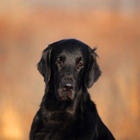 Flat Coated Retriever Ausführliche Rassebeschreibung, Fotos, Intelligenz, Hundenamen, Hypoallergene: nein