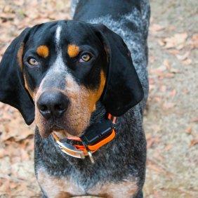 Bluetick Coonhound Ausführliche Rassebeschreibung, Fotos, Intelligenz, Hundenamen, Hypoallergene: nein