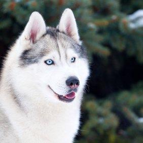Siberian Husky Ausführliche Rassebeschreibung, Fotos, Intelligenz, Hundenamen, Hypoallergene: nein