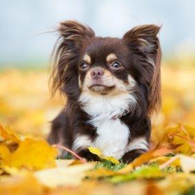 Chihuahua Ausführliche Rassebeschreibung, Fotos, Intelligenz, Hundenamen, Hypoallergene: nein