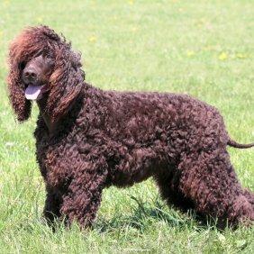 Irish Water Spaniel Ausführliche Rassebeschreibung, Fotos, Intelligenz, Hundenamen, Hypoallergene: ja