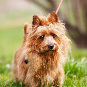 Australian Terrier Ausführliche Rassebeschreibung, Fotos, Intelligenz, Hundenamen, Hypoallergene: ja