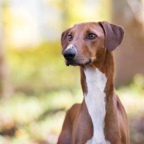 Azawakh Ausführliche Rassebeschreibung, Fotos, Intelligenz, Hundenamen, Hypoallergene: nein
