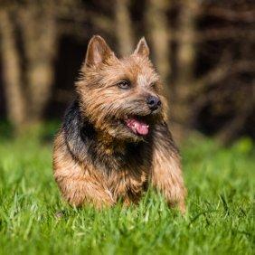 Norwich Terrier Ausführliche Rassebeschreibung, Fotos, Intelligenz, Hundenamen, Hypoallergene: ja