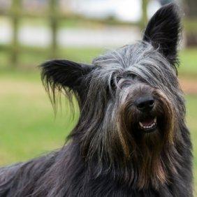 Skye Terrier Ausführliche Rassebeschreibung, Fotos, Intelligenz, Hundenamen, Hypoallergene: nein