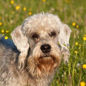 Dandie Dinmont Terrier Ausführliche Rassebeschreibung, Fotos, Intelligenz, Hundenamen, Hypoallergene: ja