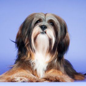 Lhasa Apso Ausführliche Rassebeschreibung, Fotos, Intelligenz, Hundenamen, Hypoallergene: nein