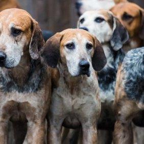 English Foxhound Ausführliche Rassebeschreibung, Fotos, Intelligenz, Hundenamen, Hypoallergene: nein