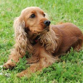English Cocker Spaniel Ausführliche Rassebeschreibung, Fotos, Intelligenz, Hundenamen, Hypoallergene: nein