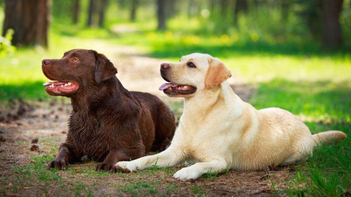 Labrador Retriever - bild