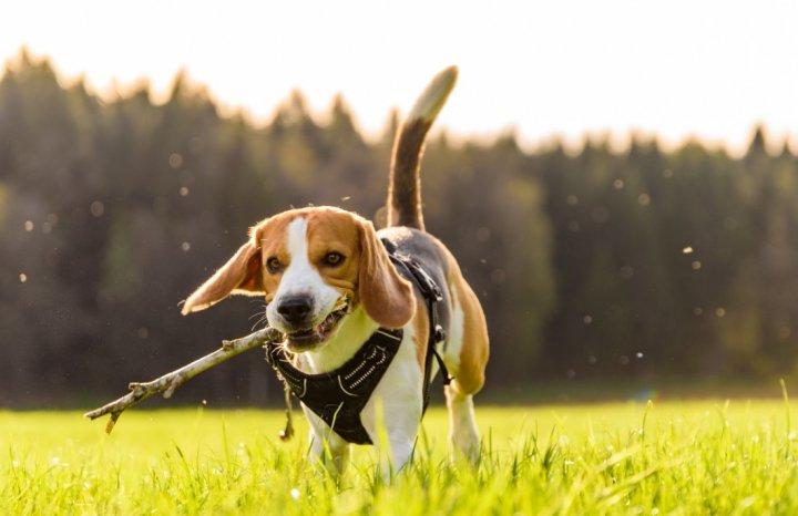 Beagle - bild