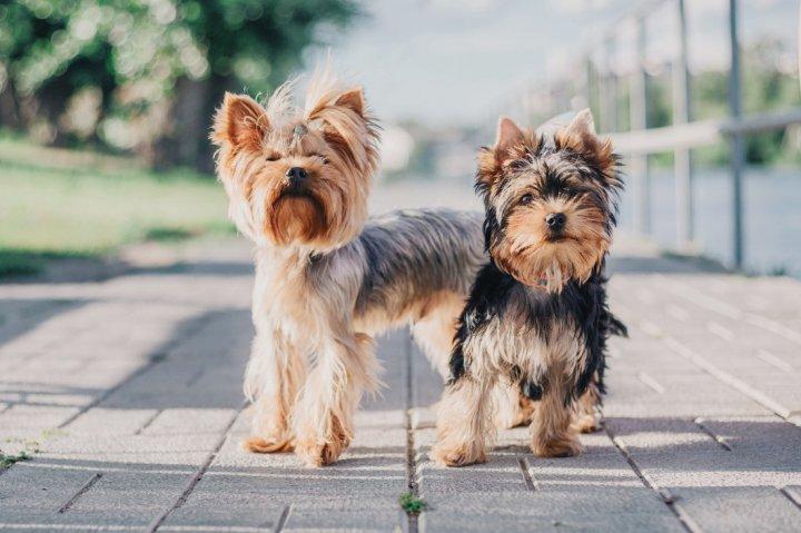 Yorkshire Terrier - bild