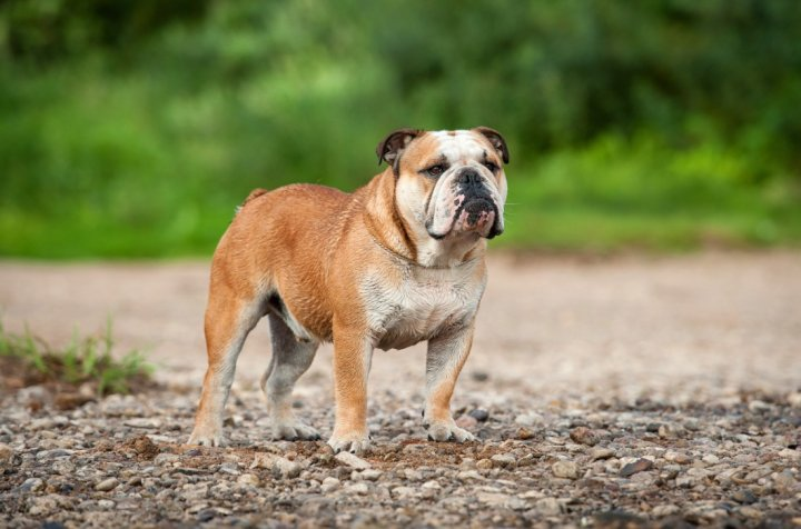 Englische Bulldogge - bild