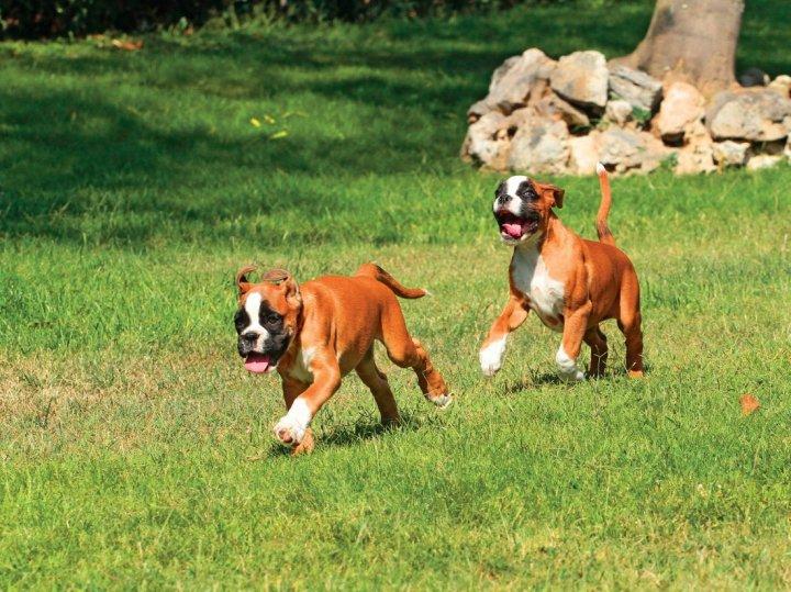 Deutscher Boxer Hunderasse Mit Bild Info Temperament