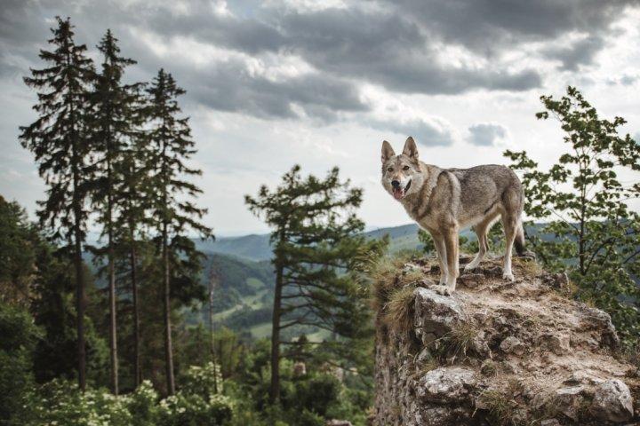 Tschechoslowakischer Wolfhund - bild