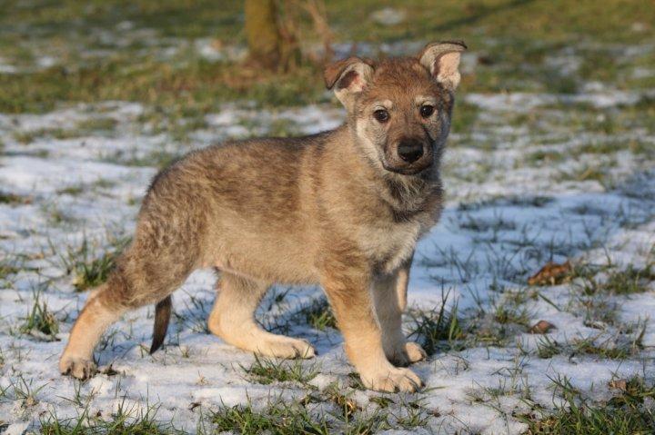 Tschechoslowakischer Wolfhund Welpen