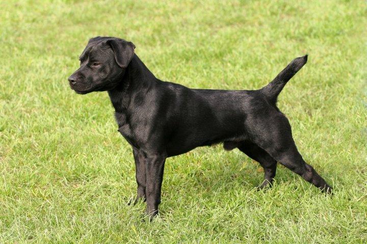 Patterdale Terrier - bild