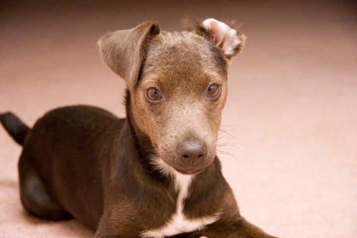 Patterdale Terrier Welpen