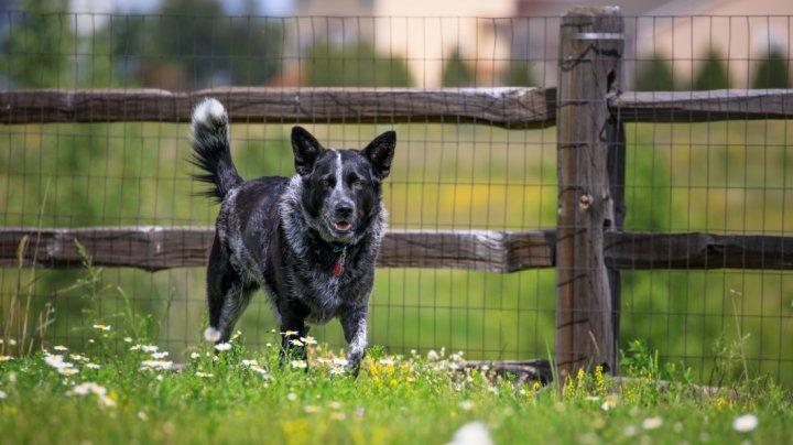 Australian Cattle Dog - bild