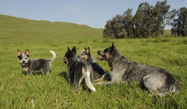 Australian Cattle Dog Welpen