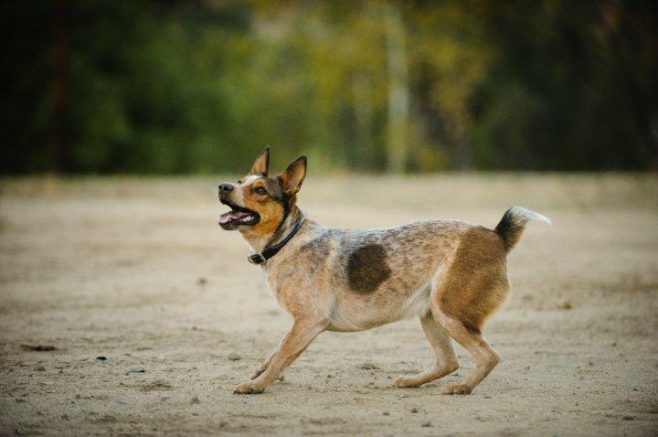 Australian Stumpy Tail Cattle Dog - bild