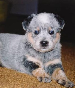 Australian Stumpy Tail Cattle Dog Welpen