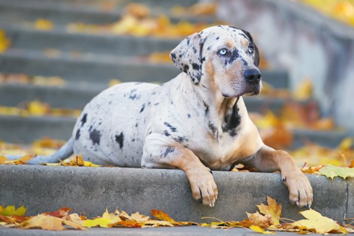 Louisiana Catahoula Leopard Dog - bild