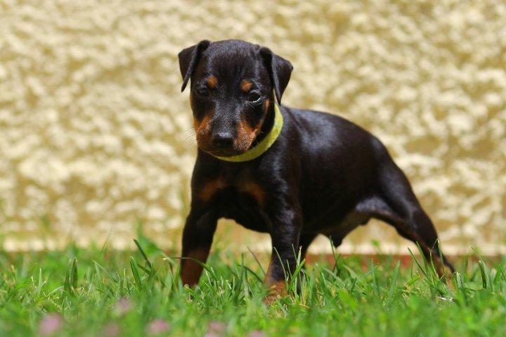 Manchester Terrier Welpen