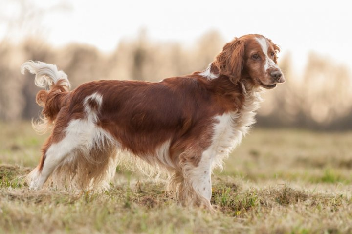 Welsh Springer Spaniel - bild