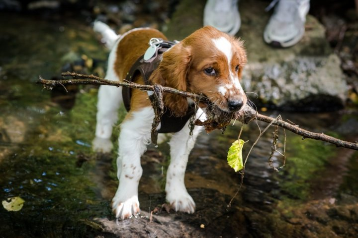 Welsh Springer Spaniel Welpen
