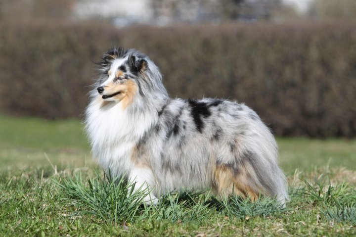 Shetland Sheepdog - bild