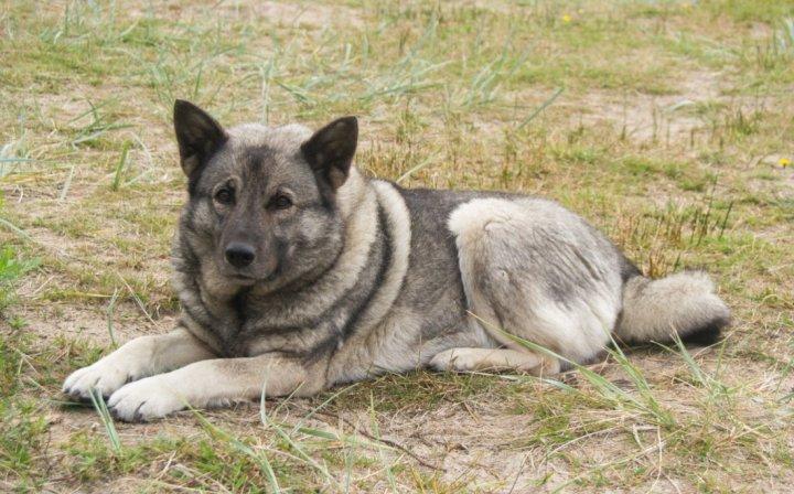 Norwegischer Elchhund grau - bild