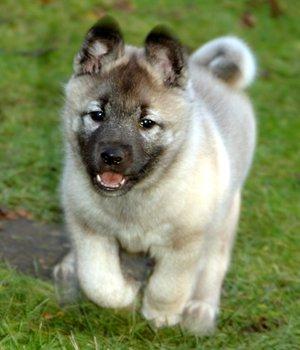 Norwegischer Elchhund grau Welpen